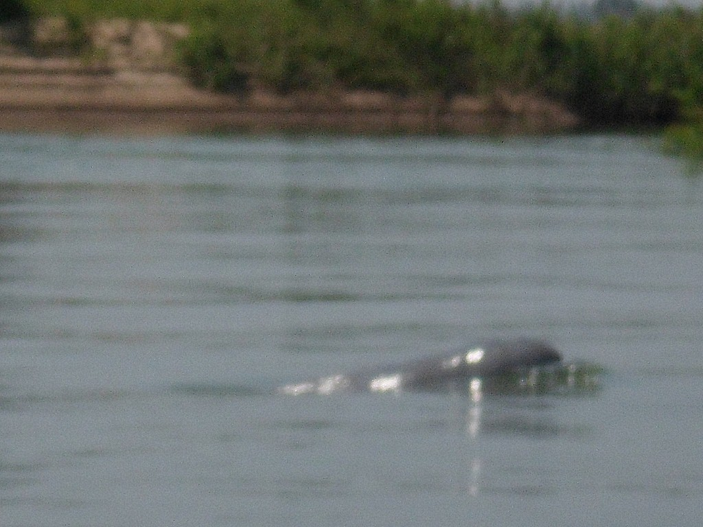 Irrawaddy fresh water dolphin